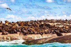 Dzikie foki na skałach Obrazy Royalty Free