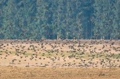 DZIKIE gąski I INNI ptaki zdjęcie stock