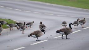 Dzikie gąski na drogowym powoduje ruchu drogowego zagrożeniu zbiory