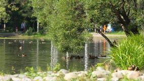 Dzikie gąski pływa w rzece na słonecznym dniu w zaciszność parku Latać nurkuje na stawie w parku obraz stock
