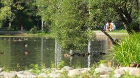 Dzikie gąski pływa w rzece na słonecznym dniu w zaciszność parku Latać nurkuje na stawie w parku zdjęcia stock