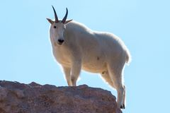 Dzikie Halne kózki Kolorado Skaliste góry Obrazy Stock
