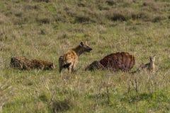 Dzikie hieny i szakal Obrazy Stock