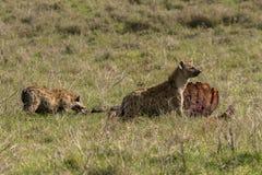 Dzikie hieny i szakal Zdjęcia Royalty Free