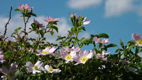 Dzikie Irańskie róże tanczy w wiatrze zbiory
