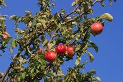 dzikie jabłka Zdjęcie Royalty Free