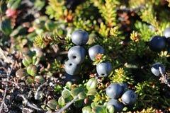 Dzikie jagody, czarne jagody, Grenlandzki berrya na Arktycznego okręgu śladzie zdjęcia stock