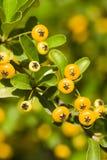 Dzikie jagody wśród zielonych liści Fotografia Stock