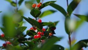 Dzikie jagody w świetle zdjęcia stock