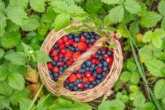 Dzikie jagody w koszu na lasowym rośliny tła zbliżeniu Zdjęcie Royalty Free