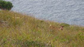 Dzikie kózki na nakrętce Vermell zdjęcie wideo