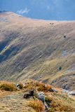Dzikie kózki w górach Zdjęcie Royalty Free