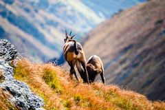 Dzikie kózki w górach Zdjęcie Stock