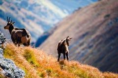 Dzikie kózki w górach Fotografia Royalty Free