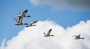 Dzikie kaczki Obrazy Stock