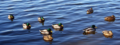 Dzikie kaczki Zdjęcia Stock