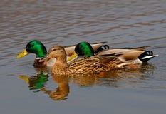 dzikie kaczki Obrazy Royalty Free