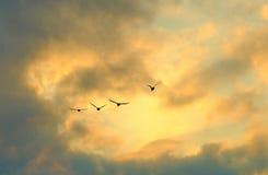Dzikie Kaczki Zdjęcie Royalty Free
