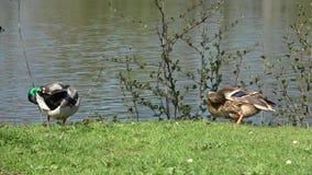 Dzikie kaczki czy?c? pi zdjęcie wideo
