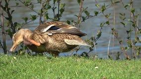 Dzikie kaczki czy?c? pi?rka na jeziorze Zako?czenie ?aciny imi?: Platyrhynchos Anas zbiory wideo