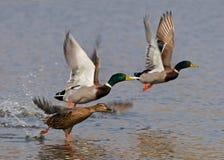 dzikie kaczki latać Zdjęcia Stock