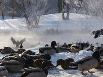 Dzikie kaczki lata w zimie Zdjęcia Royalty Free