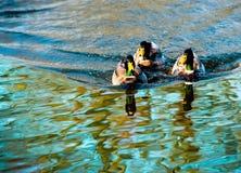 Wcześni ptaki… Zdjęcia Royalty Free
