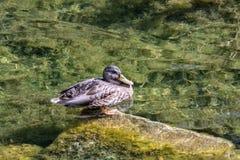 Dzikie kaczki pływa na falach zimni jeziora fotografia stock