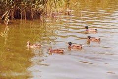 Dzikie kaczki pływa w stawie w formaci wpólnie obraz stock