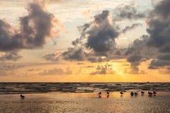 Dzikie kaczki przy zmierzchem na piaska banku Bałtycki Fotografia Royalty Free