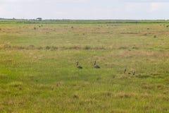 Dzikie kaczki w gospodarstwie rolnym przy Lagoa robią Peixe jezioru obraz royalty free