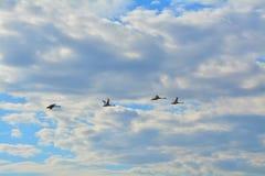 Dzikie kaczki w niebie nad Peterhof, St Petersburg, Rosja Fotografia Royalty Free