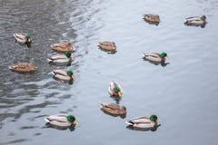 Dzikie kaczki w stawie Fotografia Royalty Free
