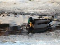 Dzikie kaczki w zimie na zamarzniętej rzece obrazy royalty free