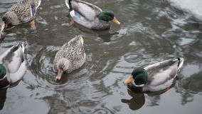Dzikie kaczki w zimy rzece zbiory