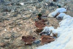 Dzikie kaczki w zimy wodzie rzecznej Zdjęcie Stock