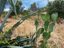 Dzikie kaktus rośliny Z Ostrymi cierniami Obrazy Stock