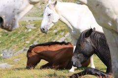 dzikie koń góry fotografia stock