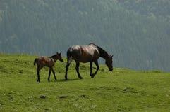 dzikie konie Zdjęcia Royalty Free