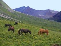 dzikie konie Zdjęcie Royalty Free