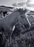 dzikie konie Obrazy Royalty Free