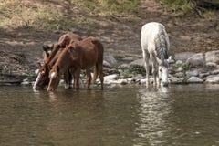 dzikie konie Fotografia Stock
