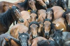 dzikie konie Fotografia Royalty Free