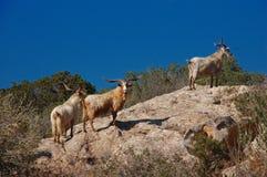 dzikie kozy Obrazy Stock