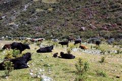 Dzikie krowy Fotografia Royalty Free