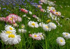 dzikie kwiaty Fotografia Stock