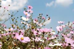 dzikie kwiaty kosmosu pole Zdjęcia Royalty Free