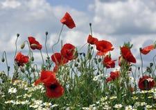 dzikie kwiaty lato Fotografia Royalty Free
