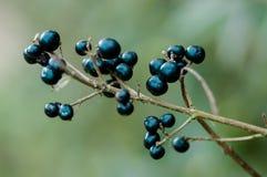 Dzikie Ligustrowe jagody Obrazy Stock