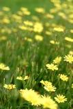dzikie lilie Zdjęcie Royalty Free
